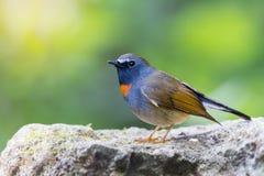Оранжевая птица шеи Стоковые Фотографии RF
