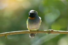 Оранжевая птица шеи Стоковая Фотография