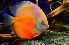 Оранжевая рыба Dyskus плавает глубоко на утесы Стоковое Фото