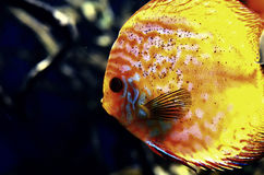 Оранжевая рыба Dyskus плавает глубоко на утесы Стоковое фото RF