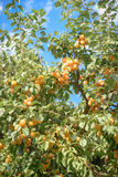 Оранжевая слива нагруженная зрелых плодоовощей Стоковая Фотография RF