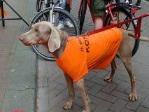 Оранжевая собака на короле holyday в Амстердаме, Голландии Стоковая Фотография