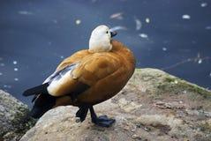 Оранжевая стойка птицы на одной лапке открытым морем Стоковое фото RF