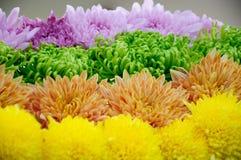 Оранжевая хризантема пурпура желтого зеленого цвета Стоковые Изображения RF