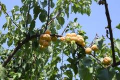 Оранжевое дерево абрикоса с ветвями и листьями и плодами стоковое изображение rf