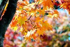 Оранжевое дерево клена в сезоне осени, цветах ветви дерева клена ярких в апельсине, красный и желтый в лесе Стоковое Фото