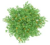Оранжевое дерево при апельсины изолированные на белизне Стоковые Изображения RF