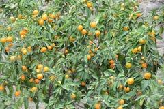 Оранжевое дерево с зрелыми плодоовощами стоковое фото rf
