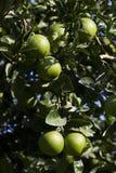 Оранжевое дерево с плодоовощами зреет стоковые изображения
