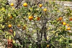 Оранжевое дерево в саде Стоковые Фотографии RF