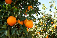 Оранжевое дерево с зрелым оранжевым плодоовощ Стоковая Фотография RF