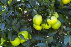 Оранжевое дерево с плодоовощами зреет стоковые фото