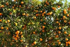 Оранжевое дерево Стоковые Изображения