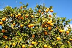 Оранжевое дерево Стоковые Фотографии RF