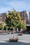 Оранжевое дерево - citrus sinensis Стоковые Изображения