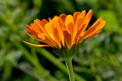 Оранжевое зарево 03 солнечности цветка Calendula Стоковые Фото
