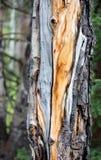 Оранжевое зерно древесины картины на сосне в национальном парке скалистой горы стоковая фотография