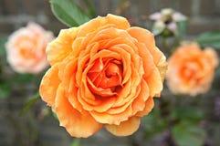 Оранжевое красивое подняло Стоковое Изображение