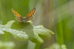 Оранжевое топление бабочки на лист дуба Стоковое фото RF