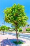Оранжевое фруктовое дерев дерево растя на улице в Marrakech стоковая фотография rf