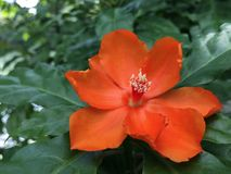 Оранжевое цветение Kunth bleo Pereskia известное как розовые Cactaceae или воск подняло Стоковое Фото