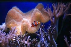 Оранжевое Anemonefish Стоковые Фотографии RF