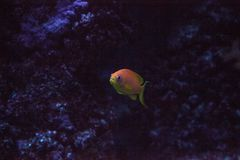 Оранжевое fairy basslet также вызвало squamip Pseudanthias goldie моря стоковые фотографии rf