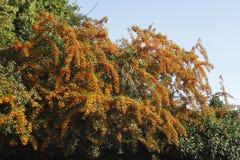 Оранжевое Firethorn стоковые изображения