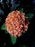 Оранжевое ixora Стоковое фото RF