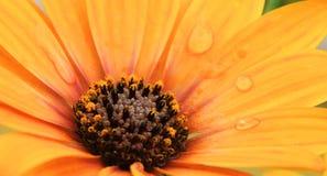 Оранжевое Osteospermum с капельками воды Стоковое Изображение