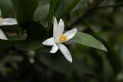 Оранжевое reticulata Blanco Цветение-цитруса Стоковые Изображения RF