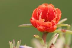 Оранжевокрасное цветение portulaca/мха розовое Стоковые Изображения