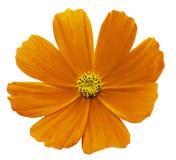 Оранжево-желтая белизна Kosmeja цветка изолировала предпосылку с путем клиппирования Отсутствие теней closeup Стоковые Изображения