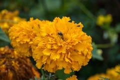 Оранжево-желтый ноготк цветков Стоковое Изображение RF