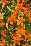 Оранжевые азиатские лилии Стоковые Изображения