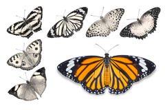 Оранжевые бабочки на белой предпосылке Стоковая Фотография RF