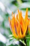 Оранжевые бутоны Стоковые Фотографии RF