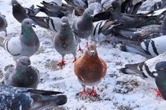 Оранжевые голуби смотря нас Стоковое Изображение RF