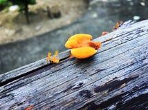 Оранжевые грибы на деревянной палубе, который нужно наблюдать Стоковые Изображения