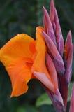 Оранжевые гладиолусы Стоковые Изображения