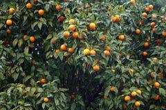 Оранжевые деревья в Италии Стоковые Изображения RF