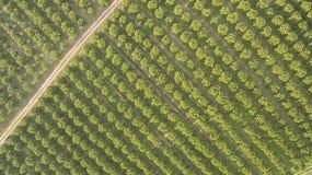 Оранжевые деревья в саде Стоковое Изображение RF