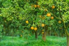 Оранжевые деревья в саде Стоковое Изображение