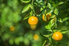 Оранжевые деревья в саде Стоковая Фотография RF