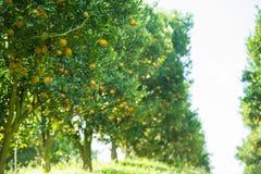 Оранжевые деревья в саде Стоковые Фотографии RF