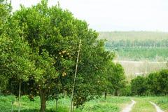 Оранжевые деревья в саде Стоковые Изображения RF