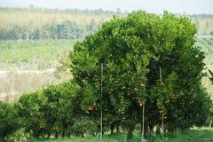 Оранжевые деревья в саде Стоковые Фото