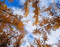 Оранжевые деревья падения осени против голубого неба Стоковое Изображение