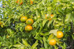 Оранжевые деревья стоковые изображения rf
