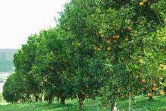 Оранжевые деревья Стоковые Изображения